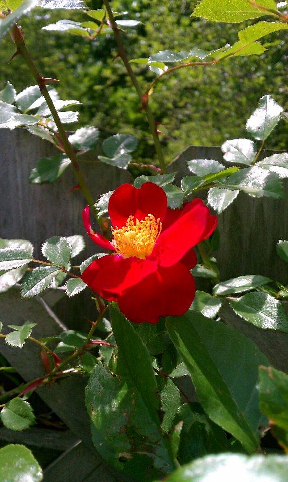 Akdeniz_garden_rose