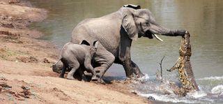 Elephant croc